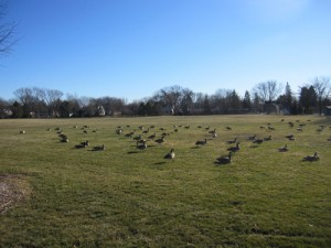 The only ones enjoying the park right now are the geese